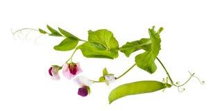Peas plant Stock Photo