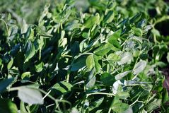 Peas plant leaves, organic farming, natural background. Peas plant leaves, organic farming, close up detail, natural background royalty free stock images