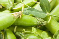 Peas pod leaves Stock Image