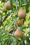 Pears on tree Royalty Free Stock Photography