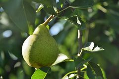 Pears on tree Stock Photography