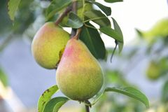 Pears on tree Royalty Free Stock Image