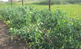 Peas in the  vegetable garden. Green peas in the  vegetable garden Royalty Free Stock Photos