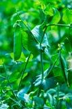 Peas on Vine Stock Photography