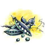 Peas. Watercolor illustration Royalty Free Stock Image
