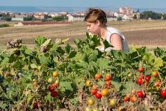 Peasant collect tomatos. Blond peasant collect red tomatos stock photos