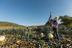 Peasant cutting agave with an ax Royalty Free Stock Photography