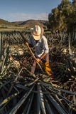 Peasant cutting agave with an ax Stock Photos