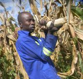Peasant farmer harvesting  maize  by hand. Mutoko,Zimbabwe,10 April 2018.  A  peasant farmer u harvesting  dry  corn  from  a  plant  by  hand  in   his plot Stock Images
