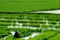 Peasant farmer in rice paddies Royalty Free Stock Photography