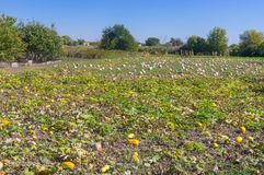 Peasant field with pumpkin Stock Image