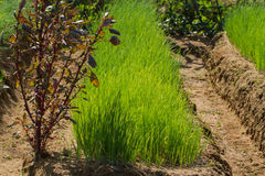 Peasant garden. Green onion harvest time Stock Image