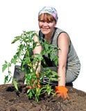 A peasant girl plants tomato Stock Photos