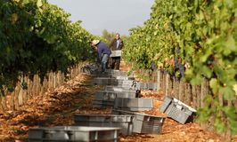 Grapes harvest season at countryside fields in mallorca. Peasant harvest grapes during grape harvesting season in the Balearic Spanish island of Mallorca Royalty Free Stock Photo