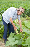 Peasant harvesting zucchini Stock Photography