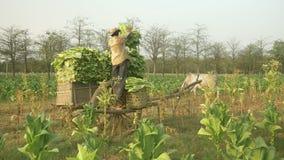 Peasant loads tobacco into a cart, tobacco field stock video