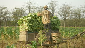 Peasant loads tobacco into a cart, tobacco field stock video footage