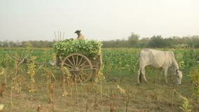 Peasant loads tobacco into a cart, tobacco field stock footage