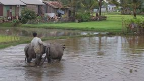 Peasant plow his paddy field stock video