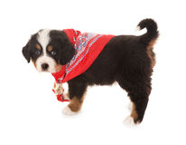 Peasant scarf doggy Stock Images