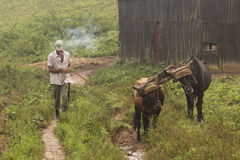 Peasant walking with his cows in land of Vinales, Cuba Royalty Free Stock Photography