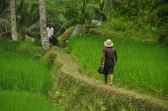 Peasant walking among rice fields. In a terraced rice farmland in central Bali, Indonesia royalty free stock image