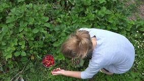 Peasant woman girl harvest ripe strawberry in farm plantation. 4K stock video