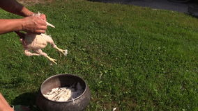 Peasant woman hand pick broiler chicken feathers and put in pot stock video