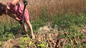 Peasant woman harvest dig eco potato with fork in farm land stock video