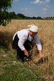 Peasant woman harvesting wheat with scythe Stock Images