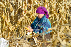 Peasant woman harvests corncobs Stock Photo