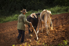 A peasant works the soil with a wooden plough pulled by two oxes Stock Photo