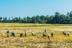 Peasants harvesting rice Angkor Cambodia Royalty Free Stock Images