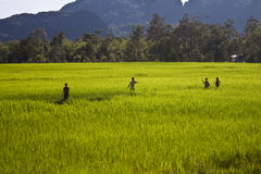 Peasants on a paddy field Stock Photo