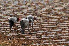 Peasants 007. Peasants seen at work on strawberry fields in the island of Majorca, Spain Stock Photo