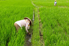 Peasants working in the rice field. Agriculture. Stock Images