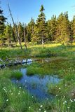 Peat bog in Krkonose mountains. Peat bog Cernohorske raseliniste in Krkonose mountains in Czech republic stock photography