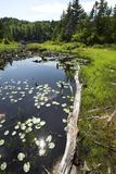 Peat bog near the summit of Mt. Sunapee, New Hampshire. royalty free stock photography
