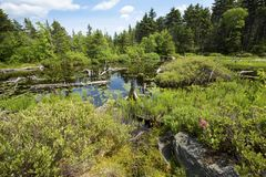 Peat bog near the summit of Mt. Sunapee, New Hampshire. Peat bog at the south end of Lake Solitude on a sunny summer day, near the summit of Mt. Sunapee in stock images