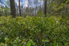 Peat bogs - National Nature Reserve - Cervene blato,Trebonsko Stock Photography