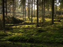 The peat covered spruce forest bed. The peat covered forest bed in a spruce forest, jutland, Denmark stock photo