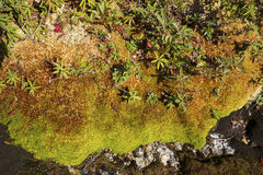Peat moss and arctic alpine plants, Mt. Cardigan, New Hampshire. Stock Images