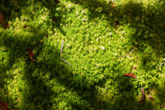 Peat Moss. Moss and peat in back-light. Garden lawn in sunlight Stock Photos