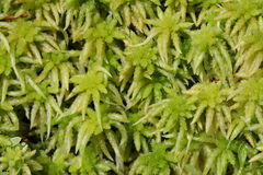 Peat moss. In a mire, Sphagnum royalty free stock image