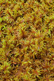 Peat Moss (Sphagnum) Stock Photos