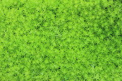 Peat moss or Sphagnum Moss Royalty Free Stock Photos