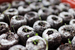 Seedlings. Peat pellets of seedlings in a sprouting tray Royalty Free Stock Photos