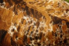 Peau bringée de vache Images stock