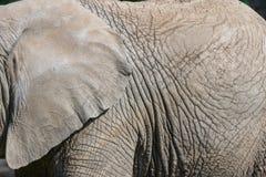 Peau d'éléphant Photos libres de droits