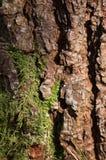 Peau d'arbre de pin Image libre de droits